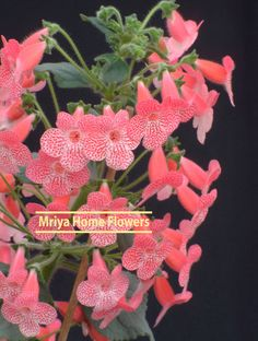 Kohleria Sunshine Colorful Flowers, Pink Flowers, October Flowers, Euphorbia Milii, Home Flowers, Begonia, Houseplants, Perennials, Sunshine