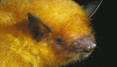 "Bolivia's golden bat: one of six new species found by the Smithsonian's Bat Detective - Adult female of ""Myotis midastactus"" captured at Noel Kempff Mercado National Park, Dept. of Santa Cruz, Bolivia."