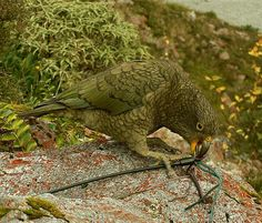 A Kea doing what they are best known for .... destroying man made objects. This alpine parrot frequents the high mountain passes of New Zealands South Island.