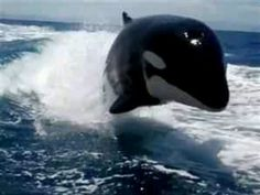 Who knew they surfed?!   I LOVE killer whales!!!
