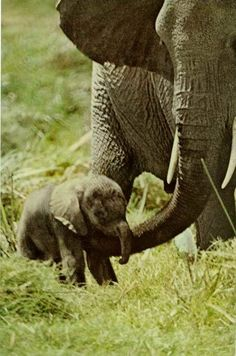 """vintagenatgeographic: """" An elephant in Kenya's Amboseli Game Reserve gives a tender nudge to her wobbly legged calf National Geographic Elephant Love, Elephant Art, African Elephant, Elephants Never Forget, Save The Elephants, Baby Elephants, Elephant Pictures, Cute Animal Pictures, Nature Animals"""