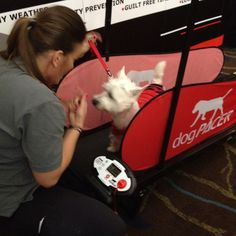 Adorable Westie at Blog Paws with our trainer on the dogPACER dog treadmill. www.dogpacer.com