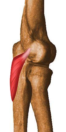 Codo. Musculo Anconeo