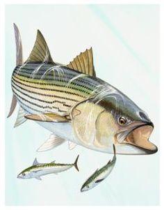 Guy Harvey Art Gallery striped bass