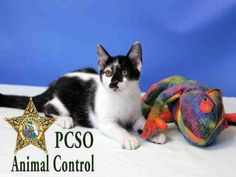 DODUO - URGENT - POLK COUNTY ANIMAL CONTROL in Winter Haven, FL - ADOPT OR RESCUE - Neutered Male KITTEN Domestic SH Mix - High kill facility that euthanizes most animals after 10 days.  If you can't adopt, support a rescue that can save a life.