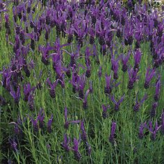 French Long Lavender Seeds