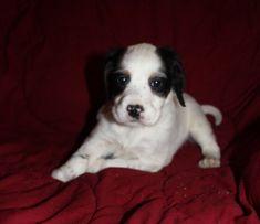 English Setter puppy for sale in OWATONNA, MN. ADN-66941 on PuppyFinder.com Gender: Female. Age: 6 Weeks Old