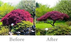 Pruning your Japanese maple                              …