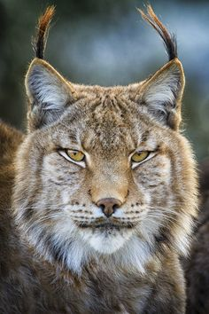 Lynx Portrait by Mario Moreno, via 500px