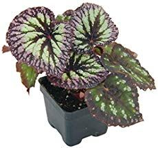 Rex Begonia Care Tips For Growing Painted Leaf Begonias Details