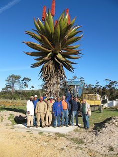 Aloe ferox - Cape Aloe, indigenous to South Africa Unusual Flowers, Unusual Plants, Rare Plants, Exotic Plants, Cacti And Succulents, Planting Succulents, Planting Flowers, Cactus Planta, Cactus Y Suculentas