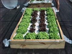 Building a Floating Hydroponic Garden -- Figure 1. Lettuce in floating garden system.