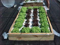 Building a Floating Hydroponic Garden -- Figure 1. Lettuce in floating garden system.