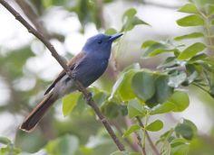 Terpsiphone cyanescens/Blue Paradise Flycatcher/アオサンコウチョウ