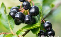 Plant these Blackcurrant Big Ben - Plants pot in good quality compost to give them all they need before planting out. When large enough, grow them in your plot and harvest amazing crops of tasty, fresh and healthy produce. Currant Bush, Autumn Garden, Compost, Big Ben, Harvest, Berries, Tasty, Fruit, Healthy