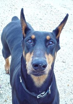 Doberman Pinscher. I shall name him Onix