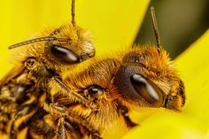 Mating Red Mason Bees [6000x4000] [OC] - http://ift.tt/1S4daVl