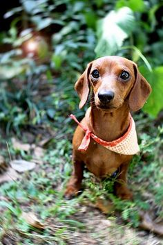 Dachshund Babe in the Woods Dachshund Funny, Dachshund Puppies, Dachshund Love, Cute Puppies, Cute Dogs, Dogs And Puppies, Daschund, Weenie Dogs, Doggies