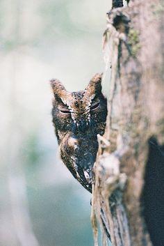 Madagascar Scops Owl