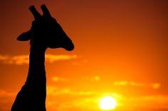 Sunset Giraffe, Kruger National Park, South Africa
