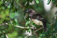 Brown Jay (Psilorhinus morio) by sjdavies1969