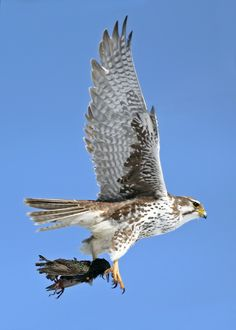Prairie falcon with starling for lunch.