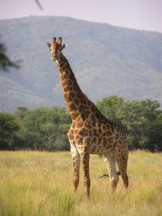 There are under giraffes in the world and their number continues to decrease daily. The illegal animal trade has posed a great threat to the giraffe and other important species. Urge world leaders to help end hunting of these majestic animals. African Giraffe, African Animals, Masai Giraffe, African Safari, Giraffe Species, Animal Species, Giraffe Pictures, Kenya Travel, Africa Travel