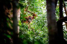 Rebel Shots, Sumatra, Noord-Sumatra , Bukit Lawang , Tangkahan , Medan , orang-oetang , National Park Gunung, Gunung,  Leuser,