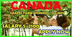 Grapes Farm Workers in Canada Find A Job, Travel Destinations, Job Offers, How To Apply, Canada, Reading, Road Trip Destinations, Destinations, Word Reading
