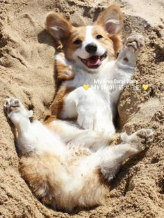 Happy corgi face in the sand Z