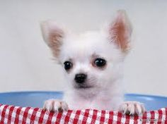 Luv Chihuahuas