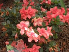 "••Encore Azalea ""Autumn Coral | My front yard"
