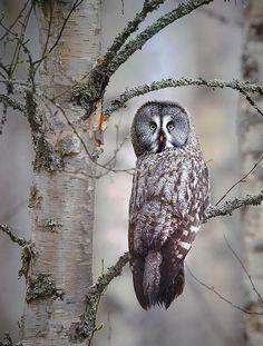 Great gray owl (strix nebulosa) looking at camera. Finland   Niko Pekonen on Facebook