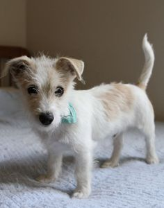 Jax, a little Jack Russel Terrier puppy mix available for adoption in California! Someone take this adorable goober home!