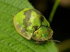 Tortoise beetle, Cassidinae from Ecuador