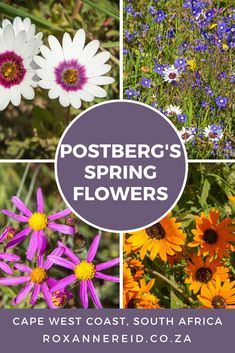 Spring flowers at Postberg on the West Coast - Roxanne Reid All About Africa, Slow Travel, Beach Walk, Africa Travel, Virtual Tour, Spring Flowers, West Coast, South Africa, National Parks