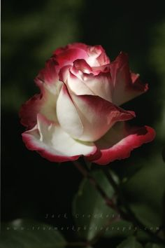 can-s-passion:  flowersgardenlove:  A Rose is Just a Ros Flowers Garden Love   //