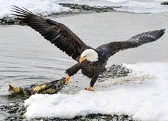 "geographicwild: "". Photography by © (Al Sandberg). FISHING IN ALASKA. #wildlife #winter #salmon #fish #nature #baldeagle #alaska #eagle """