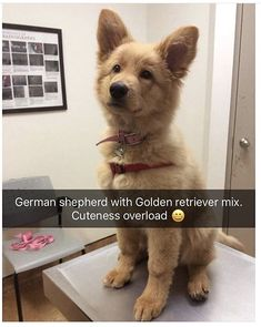 Stunning hand crafted golden retriever accessories and jewelery available at Paws Passion Shop! Represent your golden retriever pup with our merchandise! Cute Funny Animals, Funny Animal Pictures, Cute Baby Animals, Funny Dogs, Animals And Pets, Funny Memes, Sarcastic Memes, Videos Funny, Cute Dogs And Puppies