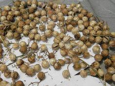 How to Harvest Coriander Seeds