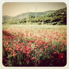 Does anything say spring more than a field of beautiful red poppies? #Jordan #Amman #JO