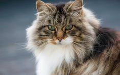 Download wallpapers furry cat, pets, Norwegian forest cat, cute animals, cats