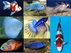 Uma das coisas mais importantes na aquariofilia é a compatibilidade entre as espécies de peixes ornamentais. As incompatibilidades entre os peixes têm a ver com uns fatores muito importante, o local de origem e o seu habitat. Quando o aquariofilistas inicia-se, tem a tendência em cair na tentação de misturar vários peixes, de várias espécies do mesmo aquário. Acontece que muitas espécies não são compatíveis, pode ser pelo comportamento, ou pelas exigências químicas, o mesmo acontece como a…