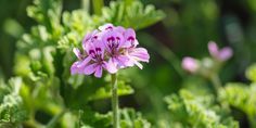 🌸🌿🌺 Αρμπαρόριζα, ένα πανέμορφο αρωματικό φυτό με υπέροχα λουλούδια και μοναδικές θεραπευτικές ιδιότητες. Συμβουλές για τη φροντίδα της αρμπαρόριζας κι ένα μυστικό για να φτιάξουμε φυσικό εντομοαπωθητικό από τα φύλλα της. Geraniums, Garden Plants, Exterior, Flowers, Garden Ideas, Gardens, Decoration, Decor, Outdoor Gardens