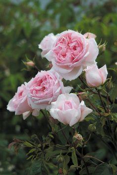 growing roses planting hassle-free easy rose varieties   The Old Farmer's Almanac