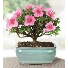 Brussel's Bonsai 6-in Pink Satsuki Azalea in Clay Planter (Dt3066az) in the House Plants department at Lowes.com Bonsai Tree Types, Indoor Bonsai Tree, Bonsai Trees, Potting Soil, Live Plants, Amazing Flowers, Exotic Flowers, Lawn And Garden, Tatoo