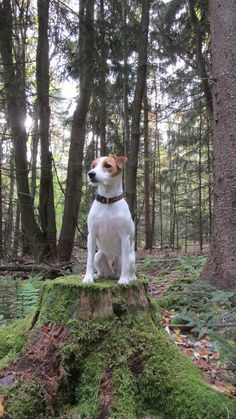 Scout my Jack Russell Terrier enjoying our love of hiking.