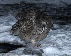 Blakiston's Fish Owl (Bubo blakistoni) with prey. Photo by Aurélien Audevard.