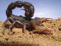 "The African Parabuthus transvaalicus. This is another potentially ""dangerous"" scorpion species."