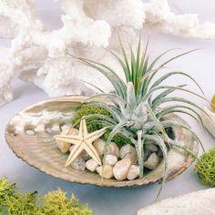 Air Plant Abalone Shell Terrarium Gift // Beach by SucculentCharm